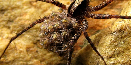 A spider with small spiders on its back